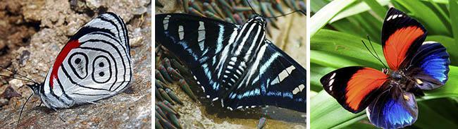 Satipo Selva Central - Mariposas (4)